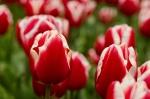 Dr. James Parkinson Tulip
