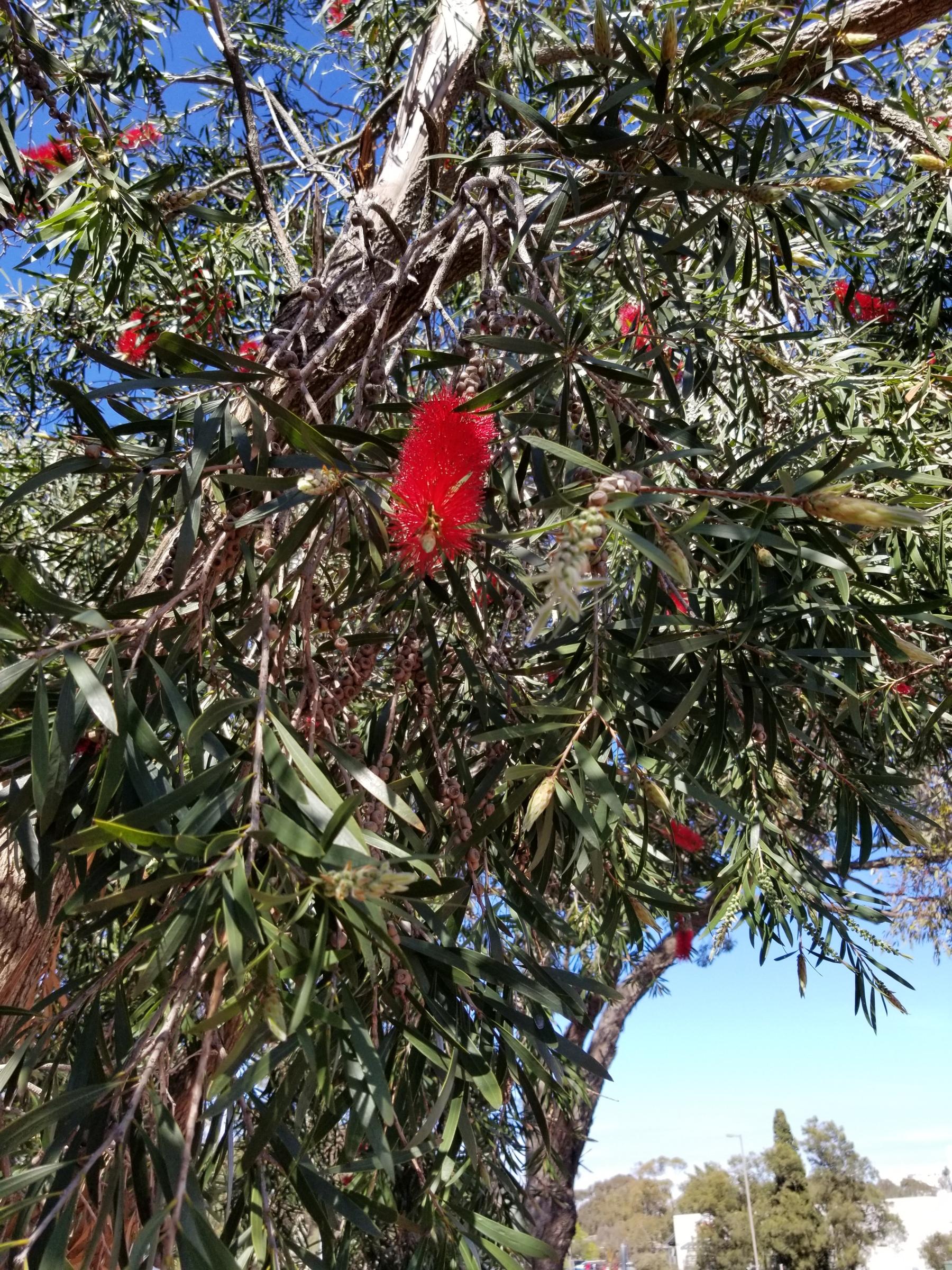 Australian Bottlebrush tree