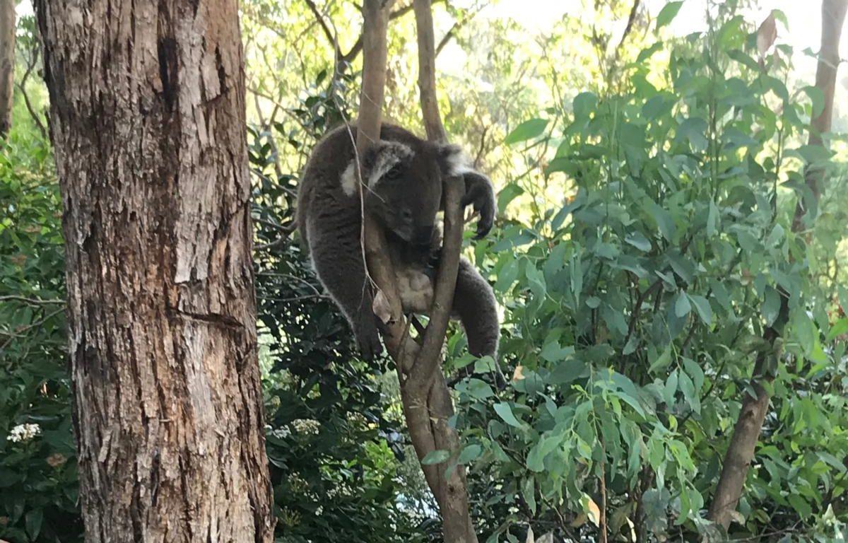 dopey koala